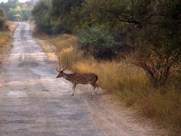 1024px-Deer_in_Sariska_Reserve