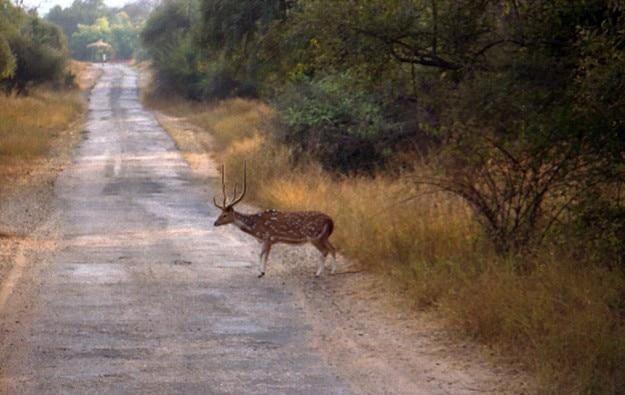 Deer in Sariska Reserve