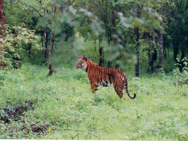 Indian_Tiger_at_Bhadra_wildlife_sanctuary