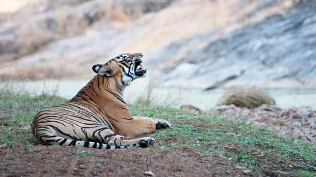 Bengal tiger at Ranthambore National Park