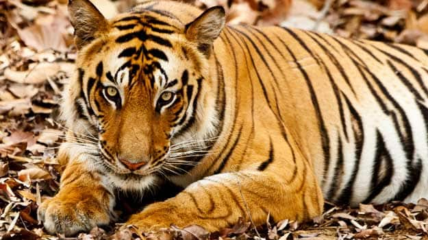 Madhya-Pradesh_Bandhavgarh_Bandhavgarh-National-Park_A-tiger-in-the-Bandhavgarh-national-park_IWPL3