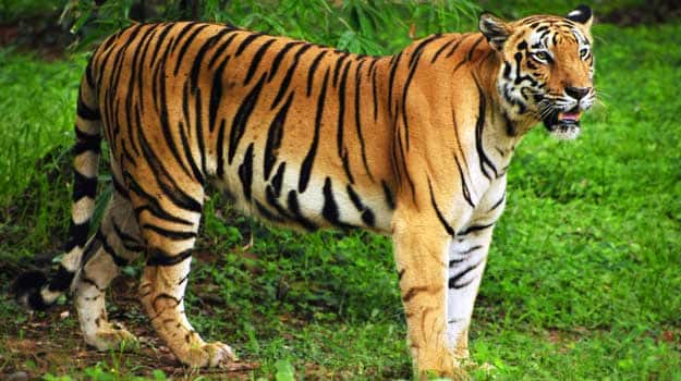 Royal-bengal-tiger-in-its-natural-habitat-at-Sundarban-forest-in-Bengal-India