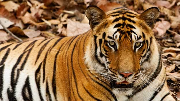 Tiger-main