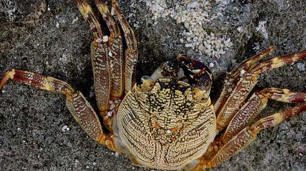 Lakh-crab