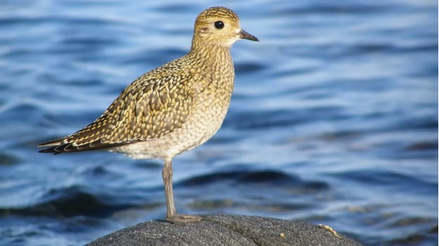 Interesting fact: As mentioned, the Plovers fly great distances, for ...