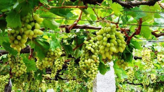 grape vines india