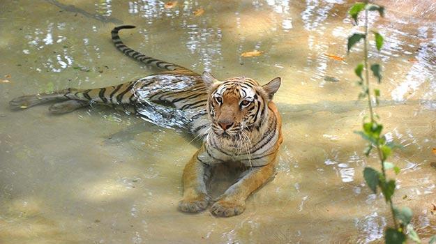 Goa_Goa_Bondla-wildlife-sanctuary_Royal-Bengal-tiger-in-Bondla-wildlife-sanctuary_IWPL3