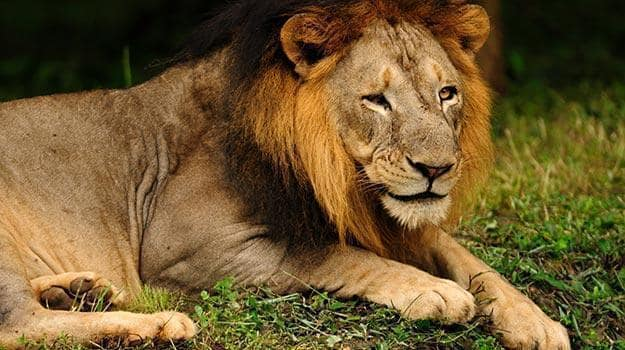 Gujarat_Gir-Forest-National-Park-and-wildlife-sanctuary_Lion-in-Gir-National-Park_IWPL1