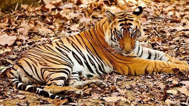 Madhya-Pradesh_Bandhavgarh_A-tiger-rests-in-the-Bandhavgarh-National-park-in-Madhya-Pradesh-India_IWPL1