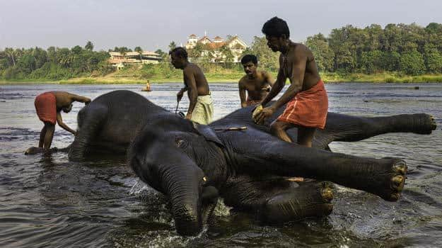 Elephants bathing in the Periyar River