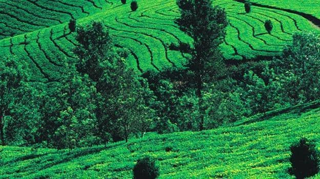 Tea_Estate_Coorg