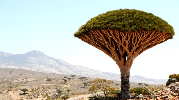 Dragon Tree, Yemen