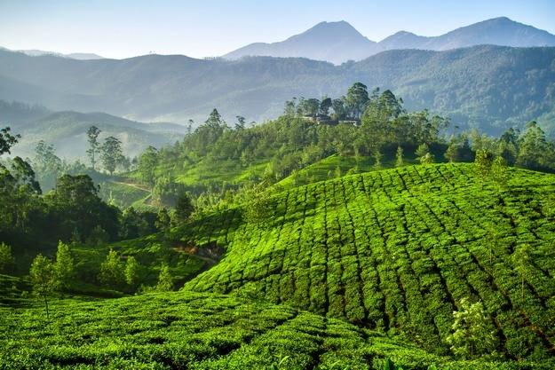 Tea estates in Munnar