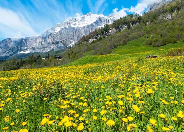 21Switzerland-Dandelions-Bernese-alps