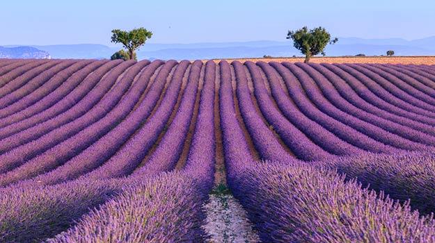 France-Provence-Lavender-field-shutterstock_303778166
