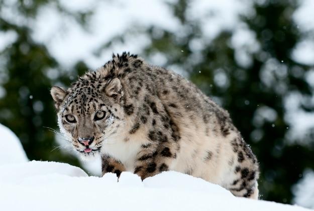 snow leopard gulmarg