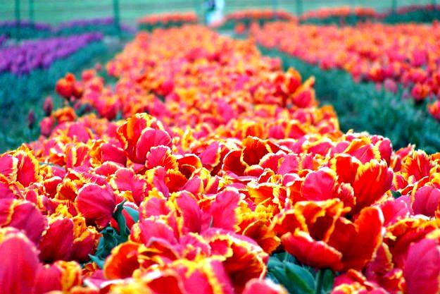 16-travel-tulip-garden-srinagar-1