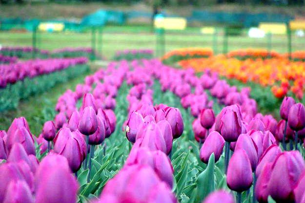 16-travel-tulip-garden-srinagar-3
