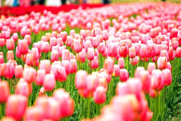 Srinagar's Indira Gandhi Memorial Tulip Garden is in full bloom and