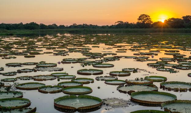 Brazilian Pantanal with victoria regias and