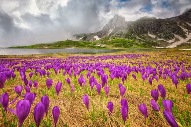 Field of spring time crocus in the Rila mountains
