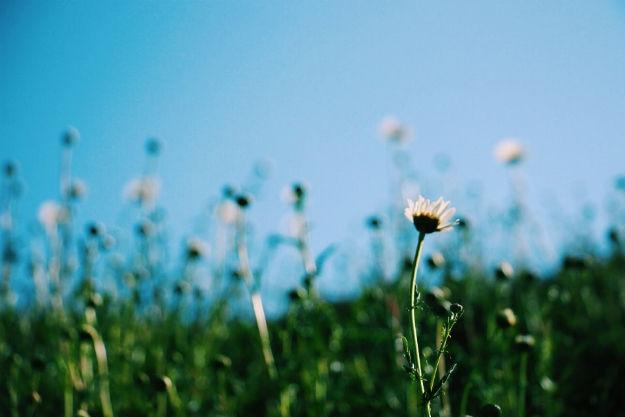 Himachal flower