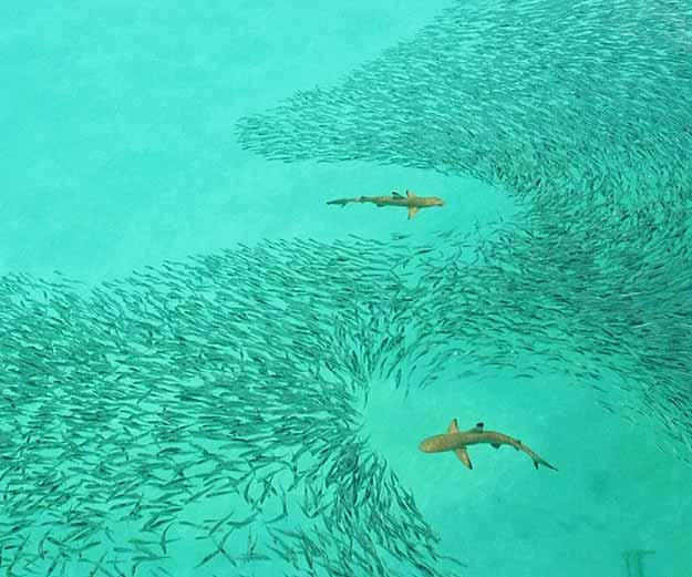 Black-Tip-Reef-Shark