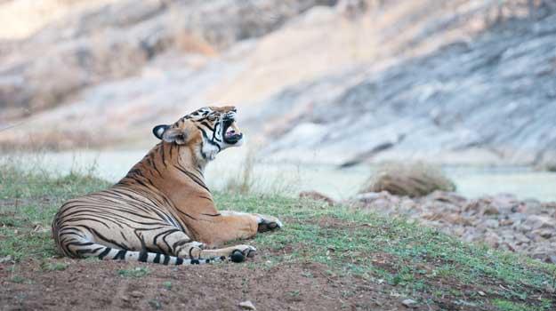 Ranthambore-Tiger-2