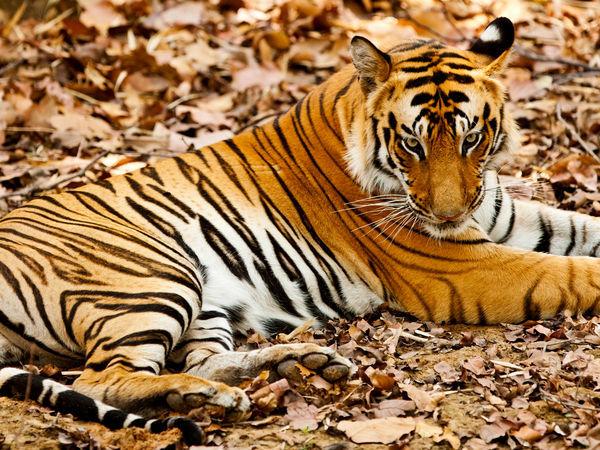 Madhya-Pradesh_Bandhavgarh_A-tiger-rests-in-the-Bandhavgarh-National-park-in-Madhya-Pradesh-India