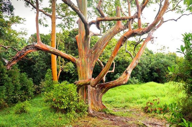 Rainbow-Eucalyptus-Trees