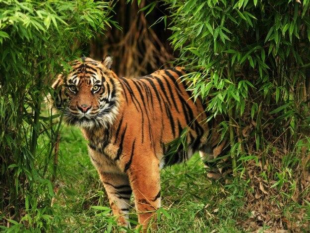 Tiger Dia