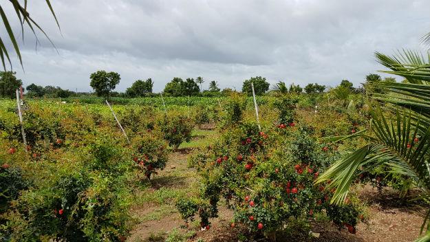 Pomegranate farms