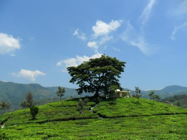 Tea_plantation_near_Kotagiri,_India