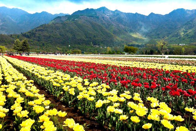 Srinagar tulip garden