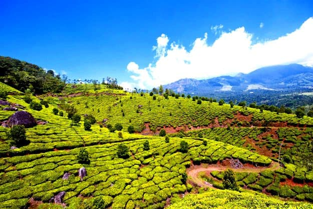 Lush green tea estates in Munnar