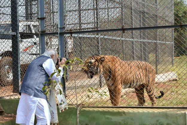 Modi-tiger