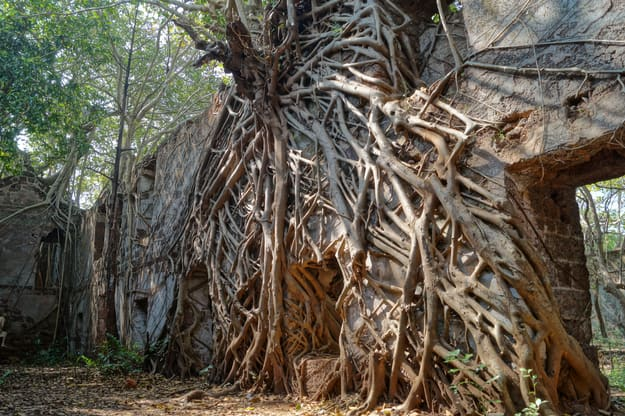 Gorgeous banyan tree roots on the wall in abandoned Redi fort