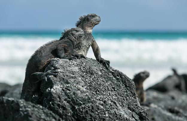 Iguanas at Tortuga Bay in Puerto Ayora, Santa Cruz Island, Galapagos, Ecuador