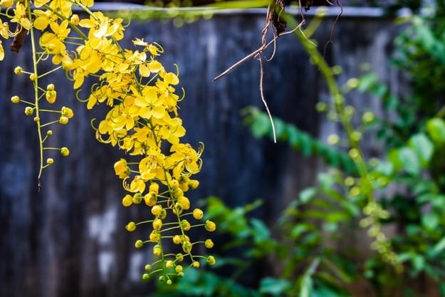 Vishu konna flowers in bloom