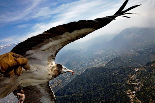 Parahawking in Nepal (Egyptian Vulture), Photograph Courtesy: Barbara Piuma/Creative Commons