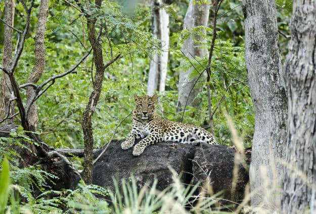 Leopard in Pench Tiger Reserve