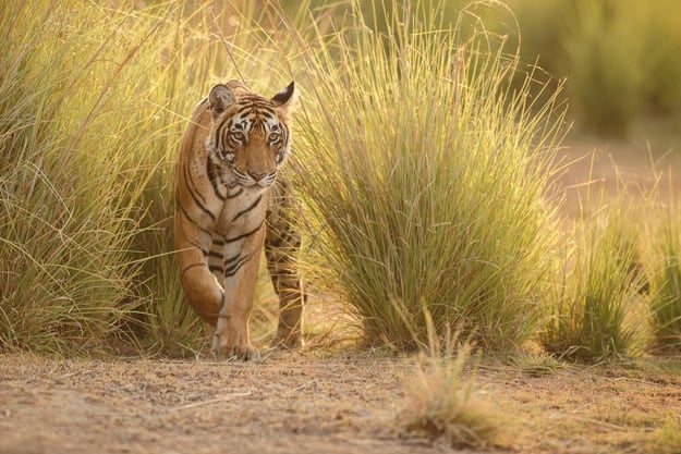 Tiger in a beautiful golden light in Ranthambhore National Park