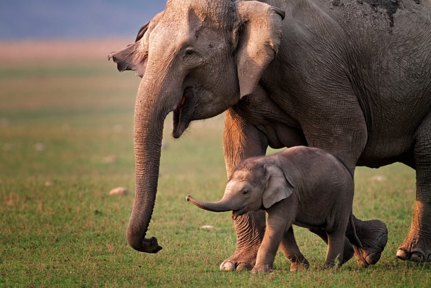Wild Asian elephant mother and calf, Corbett National Park