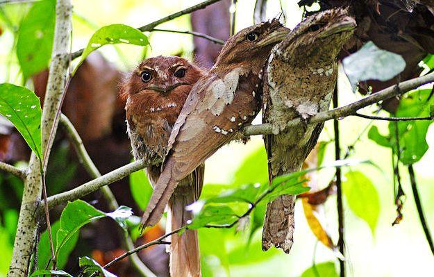 Ceilán Frogmouth en el Santuario de Aves de Thattekad, Cortesía de la Fotografía: N A Nazeer / Wikimedia Commons
