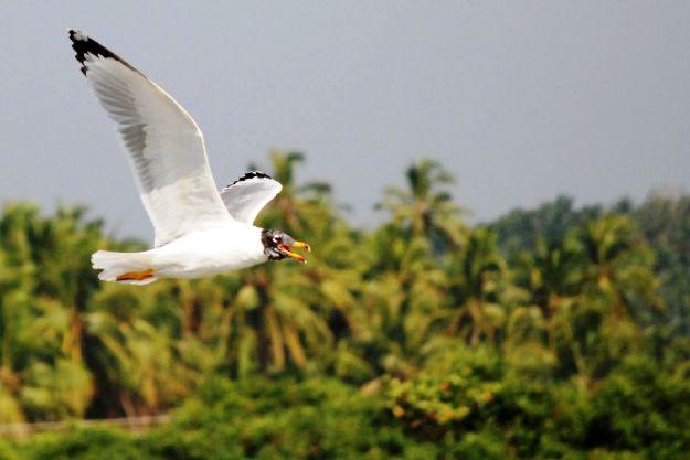La Gaviota de Pallas en el Santuario de Aves de Kadalundi, Cortesía de la Fotografía: Dhruvaraj S / Wikimedia Commons