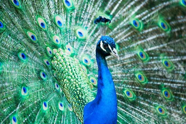Pavo real indio masculino que muestra sus plumas