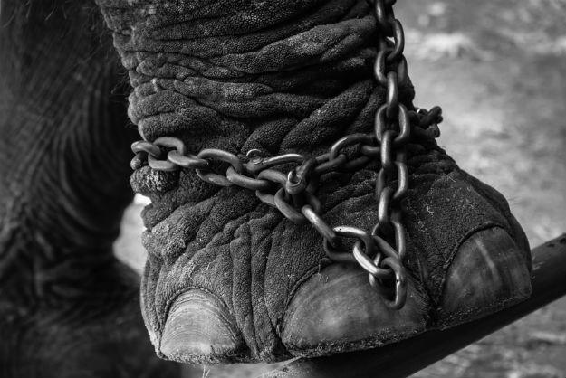Elephant curelty