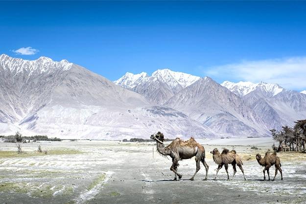 Camels in Nubra