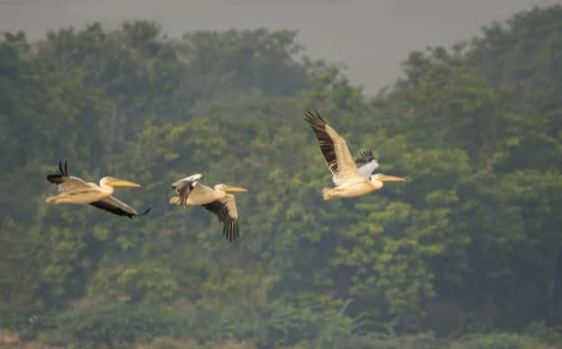 Great White Pelican flock in Okhla Bird Sanctuary