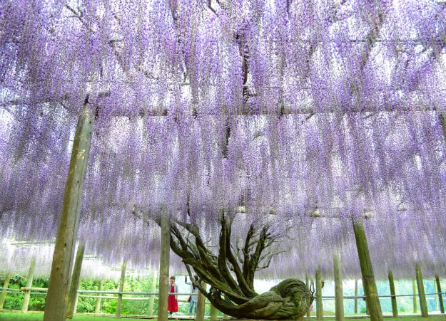 Ceiling of Wisteria tunnel in Japan